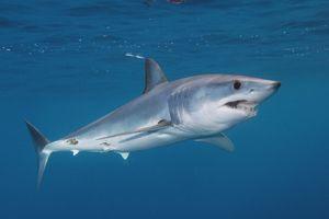 Reprodukcija črno-prsih morskih psov