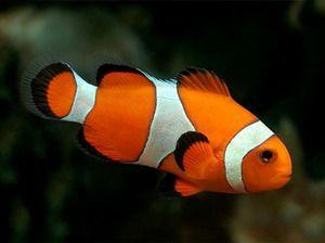 Akvarijski ribji klovn - opis vrst in vsebine