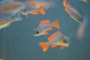 Akvarijski ciklidi
