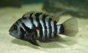 Vrste ciklidov akvarijskih rib