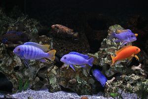 Hranjenje akvarijskih ciklidov