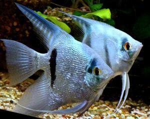 Akvarijske ribe skalarja. Njihovo vzdrževanje in skrb za njih