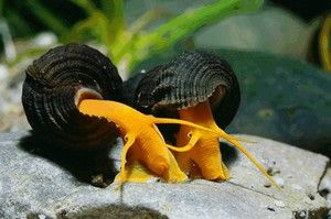 Akvarijske polže: njihove vrste, imena in oskrba doma