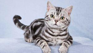 Ameriška shorthair mačka: značilnosti pasme