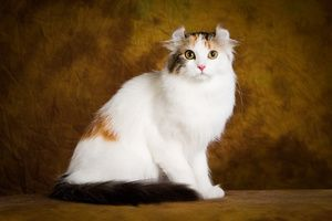 American curl, opis in opis