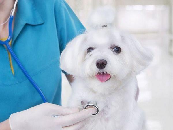 Amoksicilin za pse
