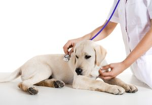 Amoksicilin za živali