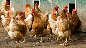 `Amprolium`: navodila za uporabo, zdravilo za ptice