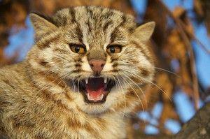 Amur gozdna mačka - značilnost