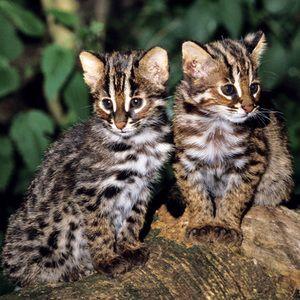 Slatki mačji mačji Tsushima