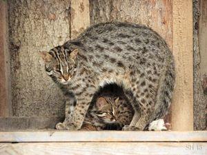 Tsushima je mačka in mucka