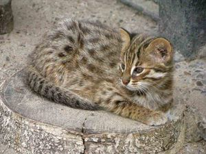 Amur gozdna mačka doma