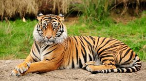 Amur tiger - velika mačka s strani rdeče knjige