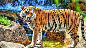 Amur tiger - posebnosti