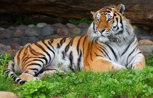 Amur tiger počiva