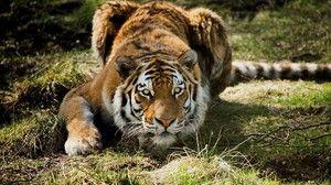 Sibirski tiger je odličen lovec