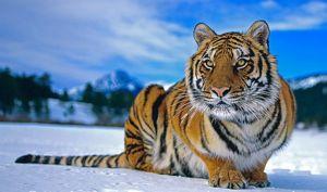 Sibirski tigar pozimi