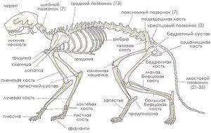 Anatomija in strukturne značilnosti okostja mačke, vloga pri delu organov