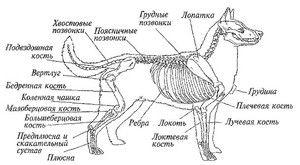 Anatomija psa: zunanja in notranja struktura telesa