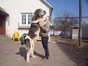 Armenski volkodlak gamprus je pas velikih in močnih psov