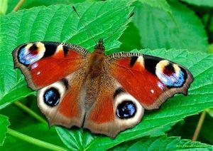 Peacock eye metulj