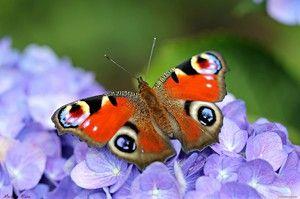 Očesni pečenec metulja: značilnosti in značilnosti