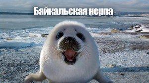 Baikal pečat: zanimiv način življenja pečata na Baikalu