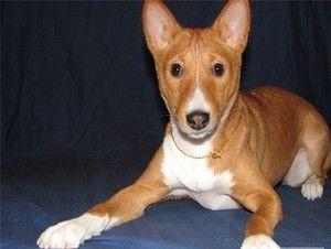 Basenji je pasma psov, ki ne laja