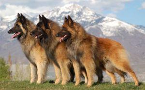 Belgijski ovčar - značilnost pasme psov