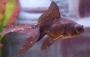 Bolezni akvarijskih rib: sorte in zdravljenje