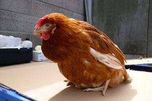 Bolezni piščancev in vidiki njihovega zdravljenja