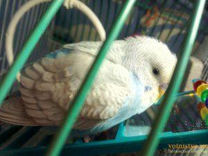 Bolezni podplutnih papagaj in njihovo zdravljenje