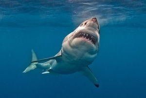 Veliki beli morski pes: značilnosti in razpon