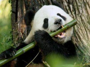 Kje živi velika panda ali bambus?