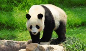 Kot drugi predstavniki medvedskih pand ima veliko maso