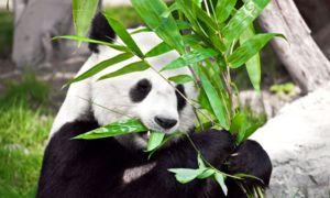 Glavna prehrana pande je bambus, čeprav so bili njegovi predniki mesojede