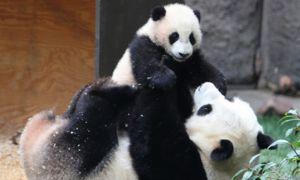 Velika panda skrbi za mladiče do 18 mesecev