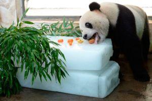Panda ne jedo le bambusa, prehrana lahko vključuje različne živila