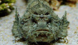 Wartow, ta ribji kamen, ki naseljuje v vodah oceanov