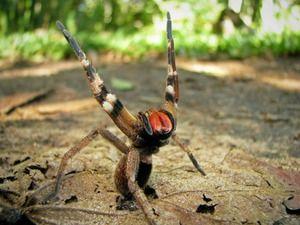 Agresivni brazilski pajek - smrtonosno strupeni
