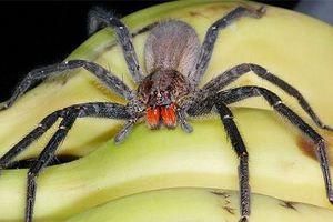 Potujoči brazilski pajek - kako razlikovati