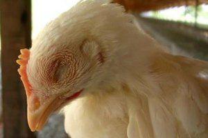Piščančji kihi in kihanje - kot za piščance in odrasle piščance