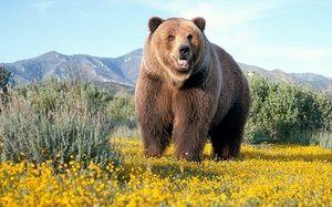 Opis pasme rjavega medveda