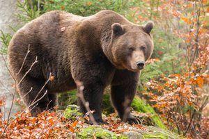 Karakteristike rjavih medvedov