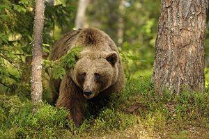 Opis načina življenja rjavih medvedov