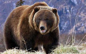 Vrste rjavih medvedov in njihove značilnosti