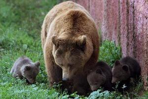 Značilnosti reprodukcije rjavih medvedov
