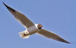 Galeb: ali je selitvena ptica ali ne?