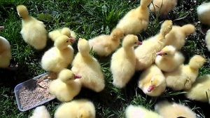 Kaj je nahraniti goslings: pravila za izdelavo prehrane doma