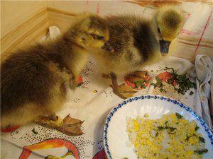 Ponudbe krmnih goslings in skrb za njih